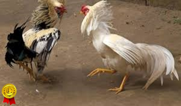 Cara Bermain Adu Ayam Online Yang Mudah Di Menangkan
